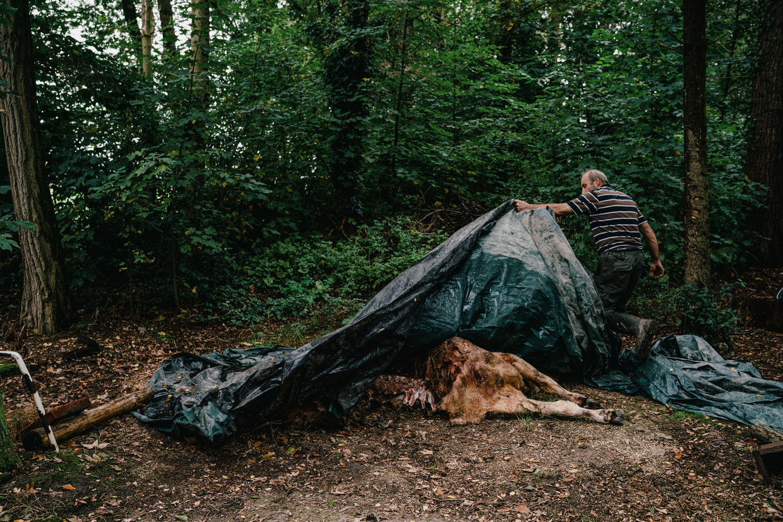 Cyriel Geusens toont het kadaver van een van zijn koeien. 'Dat lag hier 's ochtends, grotendeels opgegeten.' Beeld Wouter Van Vooren