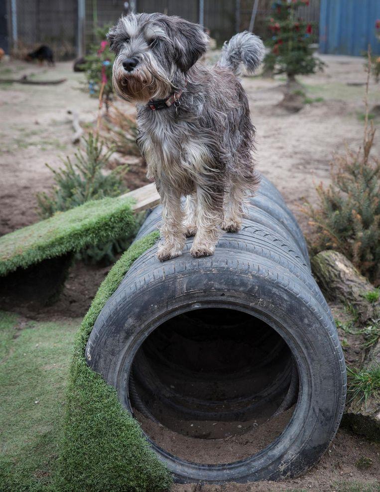 Ook dat is routine: twee wandelingen per dag met de honden die daar behoefte aan hebben. Beeld Dingena Mol