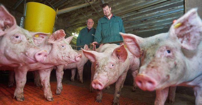 Willy Bekkers met zijn zoon tussen de varkens op hun bedrijf te Erp.