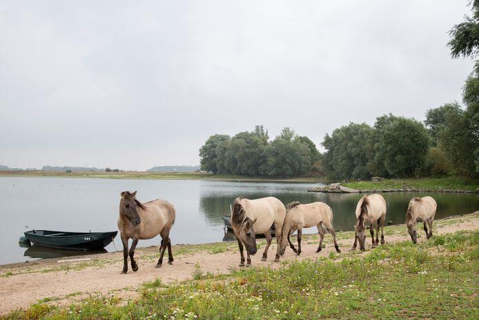 Konikpaarden in de uiterwaarden bij Weurt, een van de plekken in Gelderland waar dieren grazen op vervuilde grond. Bij een test bleek een merrie te veel dioxines in haar vlees te hebben.