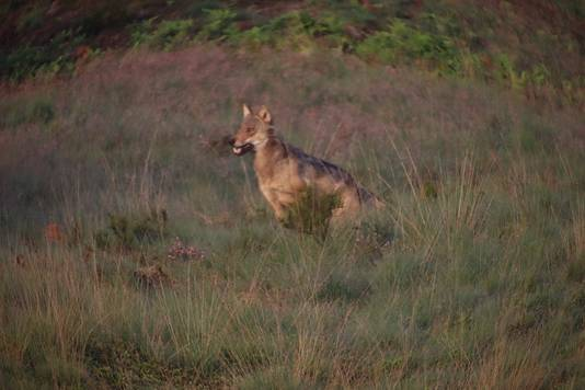 De wolf op de Veluwe.