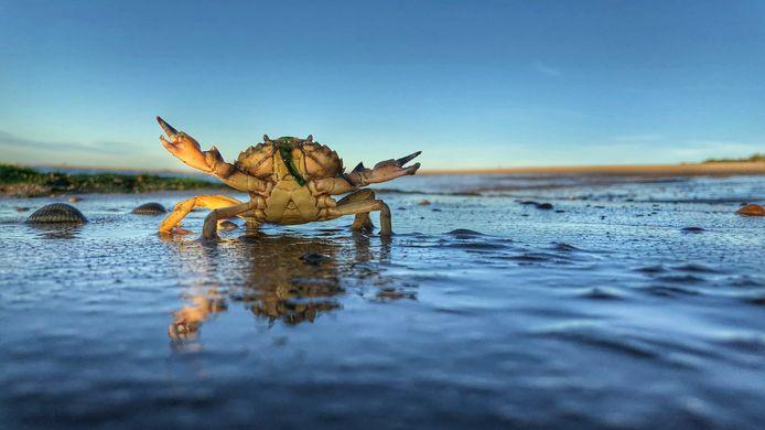 Een zeemeeuw die deze krab uit de zee haalde, liet hem op het strand vallen. Juicht hij misschien?