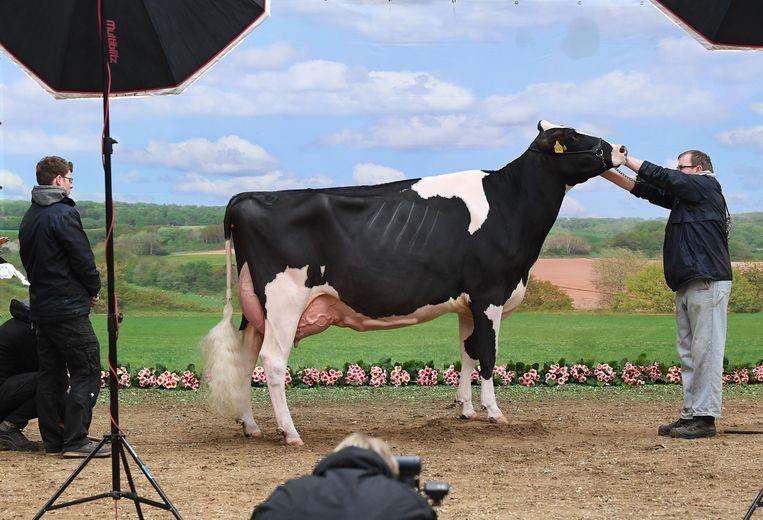 Een koe neemt deel aan de wedstrijd voor de mooiste melkkoe in Duitsland. Een schoonheidswedstrijd voor koeien geschift? Ze hebben zelfs een eigen dag.   Beeld AFP