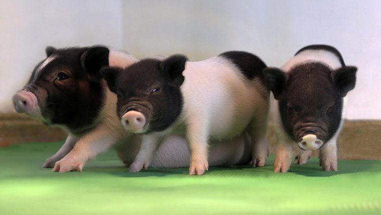 Afgelopen zomer werden varkentjes gepresenteerd, die waren ontdaan van voor de mens schadelijke retrovirussen. Beeld eGenesis