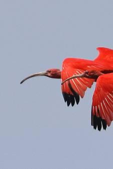 Natuurfotograaf Gijs beleeft geluksmoment: de rode ibis op de Zunasche Heide
