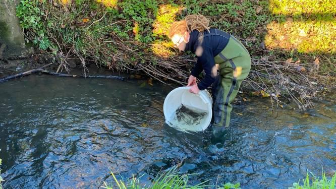 3.000 extra visjes uitgezet in Molenbeek aan Geelstervallei