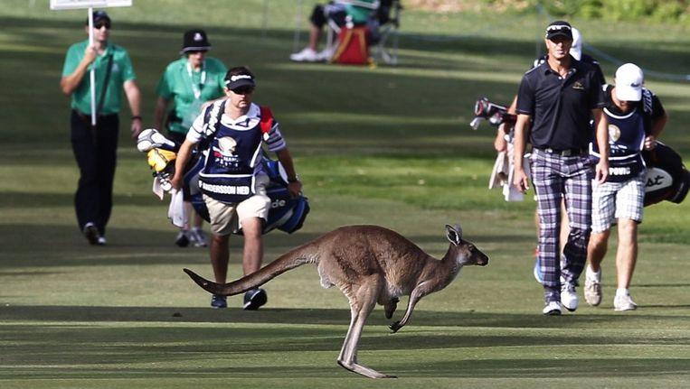 Een kangoeroe huppelt over het terrein.