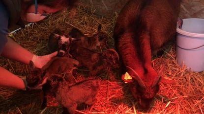 IN BEELD. Hoe schattig is dit... mama dwerggeit krijgt een vijfling en ze stellen het allemaal goed!