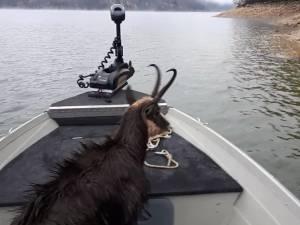 Un pêcheur sauve un chamois de la noyade
