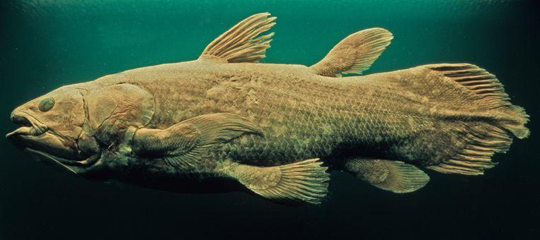 Een coelacant. De reusachtige vis ontwikkelt zich zeer traag en is pas rond de leeftijd van 55 jaar volwassen. Beeld Getty