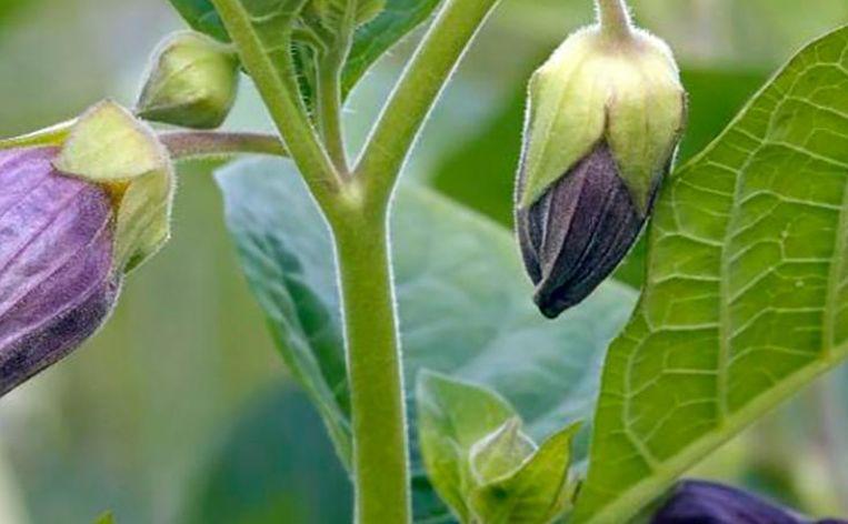 Evelien Rozema weet welke stimulerende stoffen uit planten er zijn Beeld -