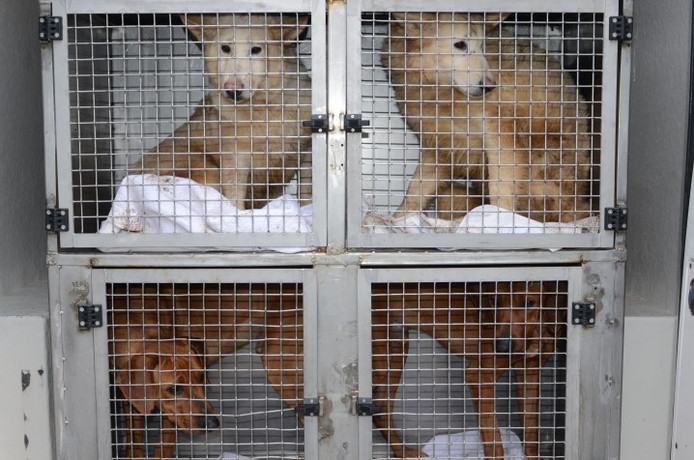 In Lettele werden honderd honden in beslag genomen.