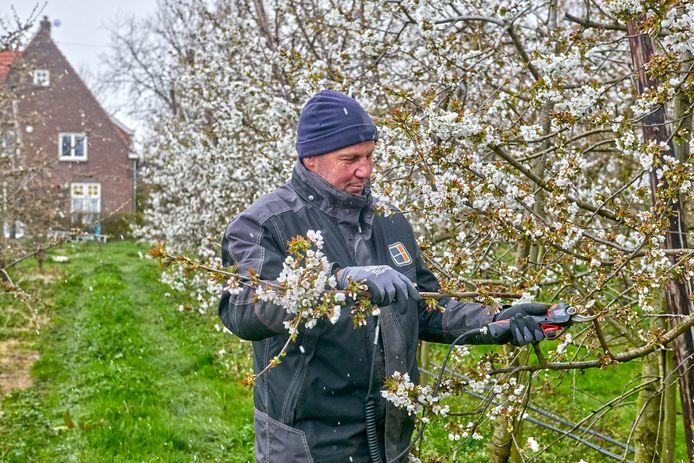 Fruitteler Bernhard van Huisseling bezig met het snoeien van bloeiende fruitbomen. De teler uit Dieden maakt zich zorgen om de vorst.