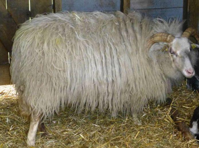 De baldadige jongens gingen onder meer op de rug van schapen en een koe zitten.
