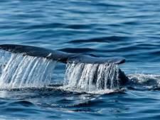 Une baleine grise égarée observée pour la première fois en Méditerranée française