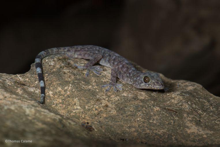 Seks? Bij de gekko's bestaan de mannetjes helemaal niet meer! Beeld RV Thomas Calame