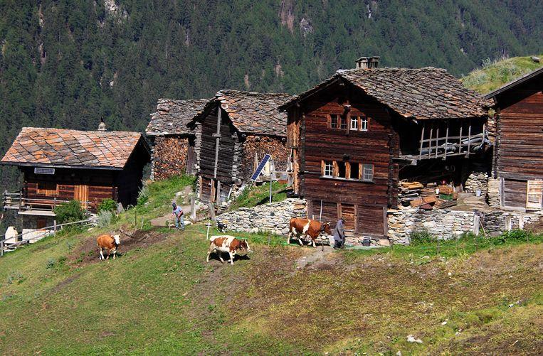 Er leeft veel bontvee in het Val d'Hérens, vanwege de kaasproductie. Beeld Jonathan Vandevoorde