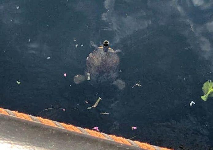 De schildpad kwam door de sluis de Lingehaven in gezwommen.