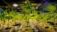 Vijftiende wietplantage in politiezone Lanaken-Maasmechelen ontdekt