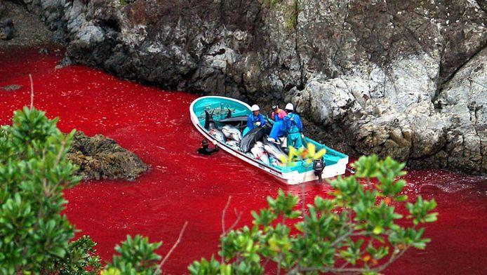 Door het leegbloeden van de dolfijnen kleurt het water in de Taiji baai rood.