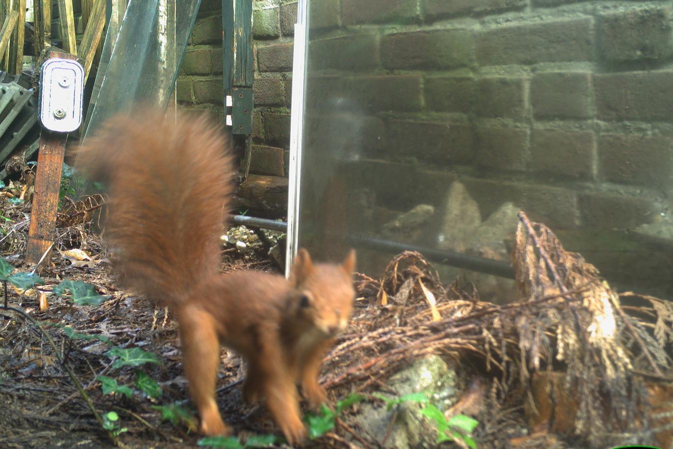 Betrapt! De eekhoorn, nummer één in de tuinen van Winterswijk.