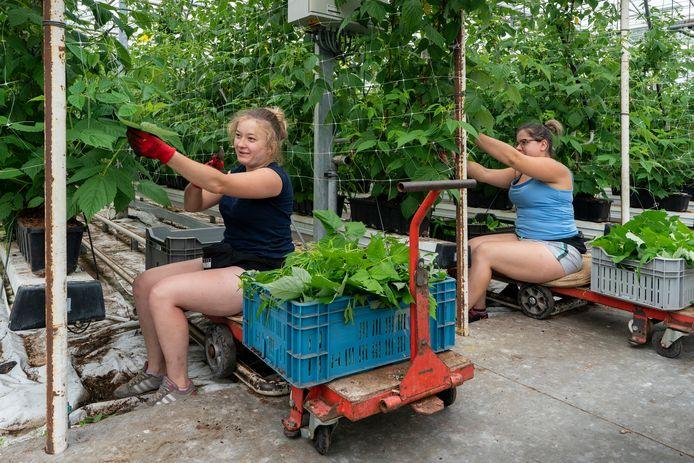 Zachtfruitkwekerij Simons in Haaren haalt 90 procent van haar seizoensarbeiders uit het buitenland.
