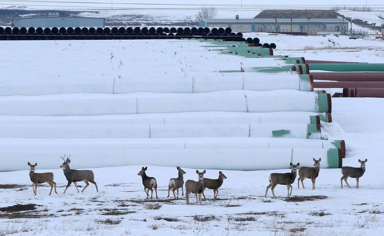 Herten verzamelen zich bij een depot waar leidingen voor de Keystone XL liggen opgeslagen, in Gascoyne, North Dakota. Beeld REUTERS