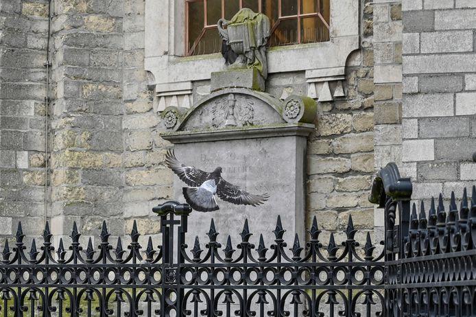 Een duif aan de Sint-Ludgeruskerk in Zele.