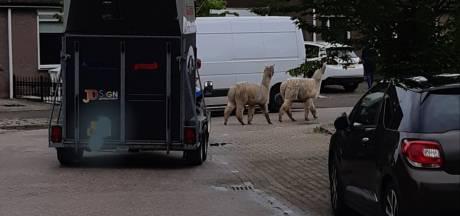 Alpaca's nemen de benen en struinen door woonwijk