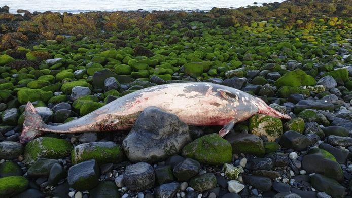 De dode dolfijn op de basaltblokken van de Roggenplaat.