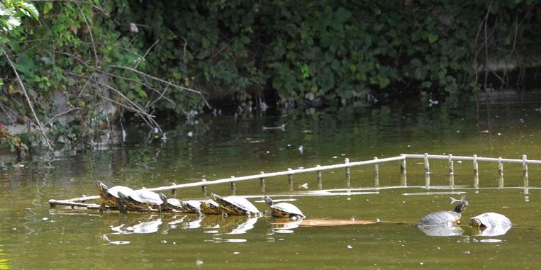 De rood- en geelwangschildpadden genieten van het zonnetje vanop de houten balken in het water.