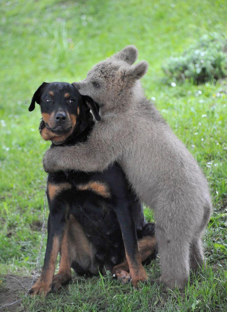Een hond wordt 'geknuffeld' door een beer.  Beeld Reuters