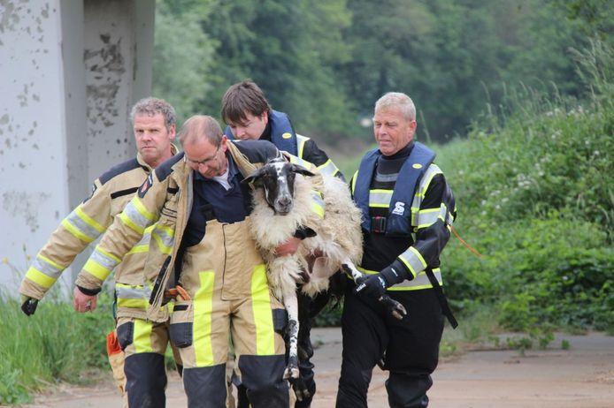 Een schaap raakte donderdag te water bij Bathmen. De brandweer bracht het dier terug naar haar kuddegenoten.