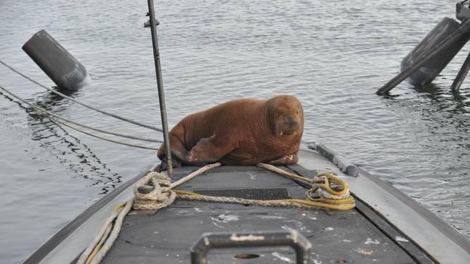 Walrus Freya rust uit op onderzeeër in Den Helder
