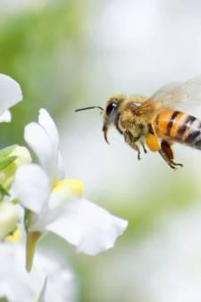 Wageningen zoekt grond voor vijf bijenoases: 'Er is een enorme achteruitgang in de insectenstand in Nederland'