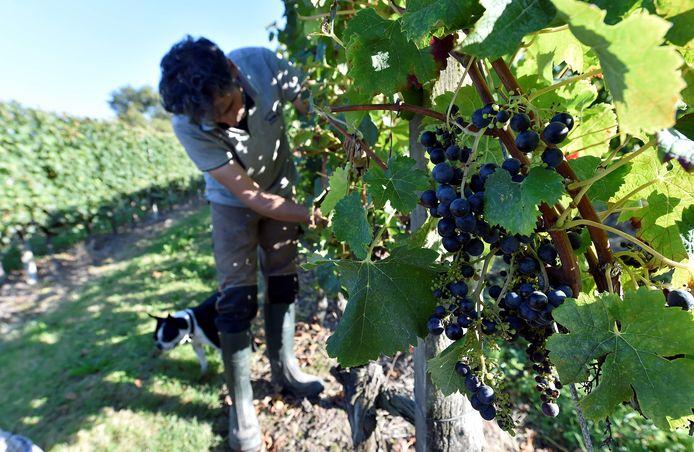 Alleen al in de regio Bordeaux roofden dieven tonnen druiven van de ranken