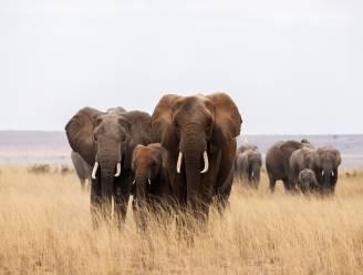 Aantal olifanten en giraffen in Kenia toegenomen