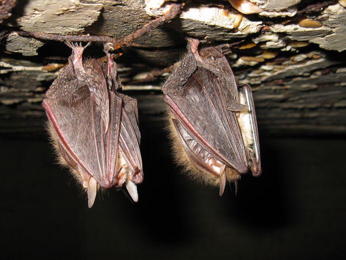 Gewone grootoorvleermuis, een van de vele soorten vleermuis