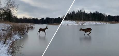 Video van de Dag | Beetje Bambi: ree waagt zich op glad ijs