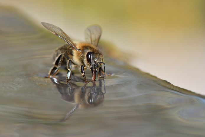 Met wat suikerwater als beloning kan een honingbij worden getraind om corona op te sporen.