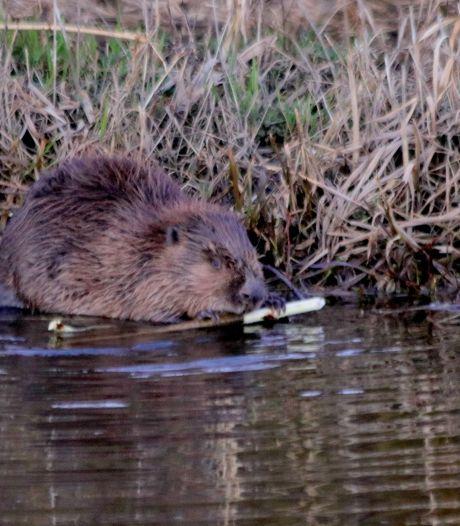 Rustig knagend langs de Schipbeek bij Markelo: De bever is terug in Twente