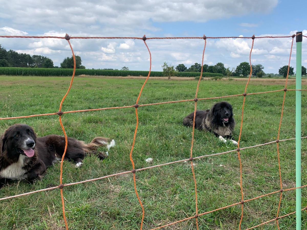 Deze kuddewaakhonden komen binnenkort naar Brabant om schapen te beschermen tegen wolfaanvallen.