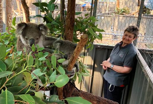 Koalabeschermster Sue Ashton kijkt naar de geredde koala's Julie en Joey in Port Macquarie.
