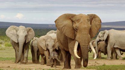 WWF: dringende actie nodig om uitsterven Afrikaanse olifant te voorkomen