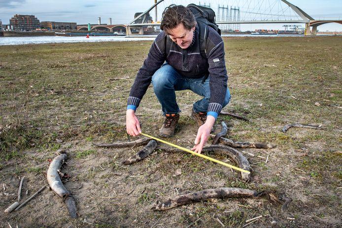 Niels Brevé van Sportvisserij Nederland meet de dode palingen in de uiterwaard van de Waal bij Nijmegen.