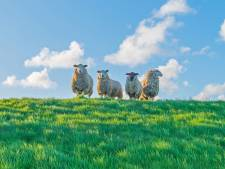 Stormseizoen in aantocht; schapen van dijken gehaald