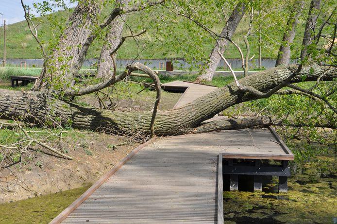 Het aangelegde houten pad is beschadigd en versperd door een omgewaaide boom.
