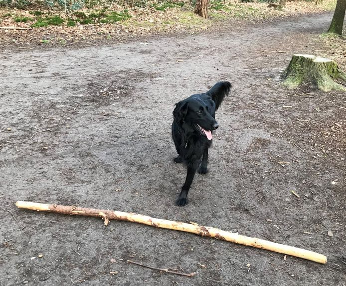 Hond Saartje is succesvol behandeld in het universitair dierenziekenhuis en loopt nu weer vrolijk in het bos.