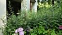 Onkruid overwoekert de hortensia's die de bewoners hebben geplant.