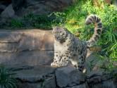 Verzorgers dierentuin bezorgd: sneeuwluipaard Ramil heeft corona